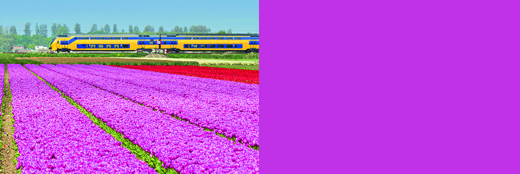 Image of train passing through dutch countryside. Foreground fields of pink tulips, plants.